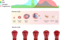 Εμμηνοροϊκός Κύκλος